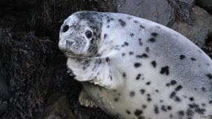 Grey seal pup by Brackenb on Flickr