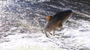 Sewin or sea trout leaping