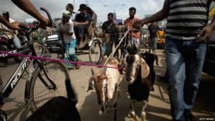Goats on leash being taken to a market for slaughter in Bangladesh.