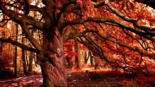 A magnificent tree in autumn foliage, this photo is by Iwan Williams and was taken at Treborth, Bangor