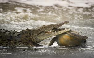 Cold-blooded killing: Crocodile eats green turtle