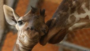 An eleven day old newborn giraffe calf stands beside his mother
