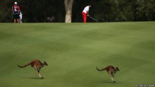 Kangaroos hop across the fairway