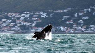 A southern right whale seen of South Africa's coast near Cape Town - Friday 11 October 2013
