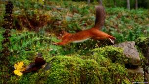 A Red Squirrel darts along a stone wall in Kielder Forest, Northumberland