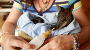 Baby wallaby rescued from the fires. 22 Oct 2013