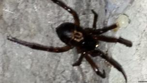 A false widow spotted in a garage in Gipsy Hill, London