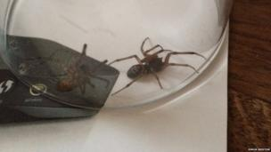 A pair of spiders captured in West Sussex