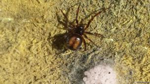 A false widow spider with a cluster of eggs