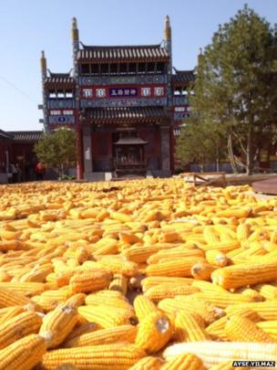 Corn cobs drying in the sun outside the Bai Ta Temple in Yong Qing, China. Photo: Ayse Yilmaz