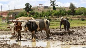 A farmer uses his oxen to plough his rice paddy field in the outskirts of the Madagascan capital Antananarivo