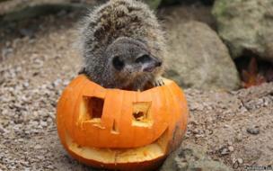 Meerkat and his pumpkin