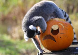 ring tailed lemur exploring pumpkin