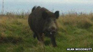 The wild boar in Alderney