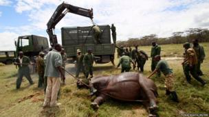 Kenya Wildlife Service wardens prepare to load a tranquillised male white rhinoceros into a cage for transportation