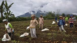 Villagers harvest potatoes at their field, located just less than four kilometres from Mount Sinabung in Karo district on 14 November 2013 in Medan, Sumatra, Indonesia