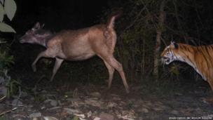 tiger chasing sambar