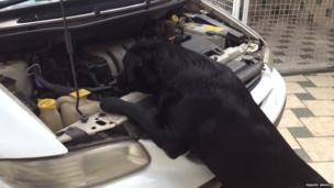 Labrador under bonnet of car