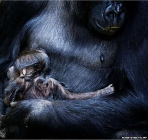 A new-born gorilla, Naikais, is held in the arms of its mother in Burgers Zoo in Arnhem, The Netherlands