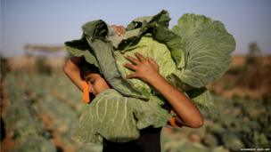 A Palestinian boy works at his father's cabbage field near the northern Gaza Strip refugee camp of Jabalia
