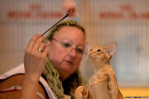 A cat is judged at the Supreme Championship Cat Show a