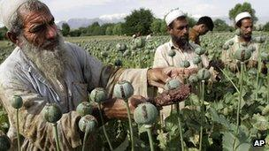 Afghan farmers collect raw opium