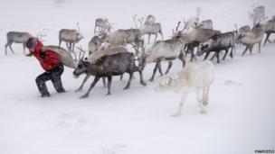 Eve Grayson, a reindeer herder of the Cairngorm Reindeer Herd, feeds the deer on December 23, 2013 in Aviemore, Scotland