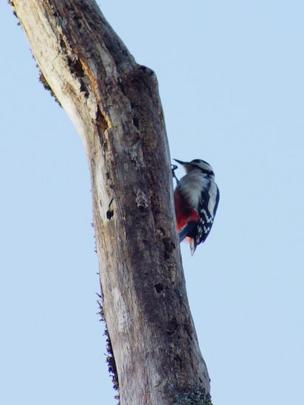 woodpecker in Balloch Park