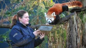 Keeper and red panda