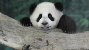 Yuan Zai climbs inside its enclosure at the Taipei City Zoo