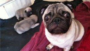 Pug puppy snatched in violent Nottingham raid at terminally