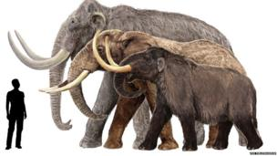 This sketch shows a Columbian mammoth, an African elephant, and an American mastodon (from back to front) next to a 6-foot-tall human. Not all mammoths were gigantic, in fact the pygmy mammoth was the size of a large horse. Illustration by Velizar Simeonovski