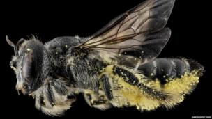 The Lithurgus Gibbosus bee