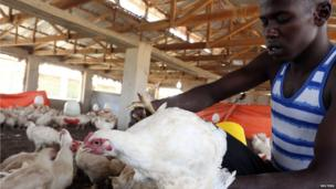 An employee inspects a chicken ready for slaughter at a poultry farm in Somalia's capital Mogadishu on 23 January 2014