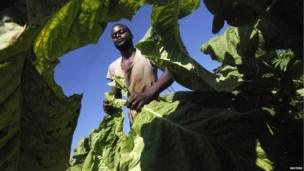Zimbabwean farm worker Lovemore Dzapasi harvests tobacco at Lobernvale farm in Harare on 17 January 2014