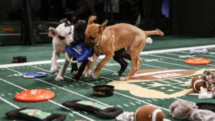 Dogs at Puppy Bowl