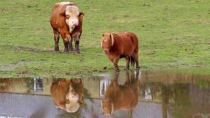 Bull and Shetland pony
