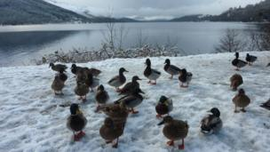 """Valerie Pegler from Livingston took this near St Fillans at Loch Earn. She says: """"The ducks gathered around our car in the hope that we had some food for them."""""""