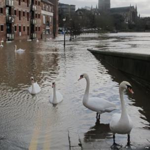 Swans swim through floodwater around the river Severn in Worcester,