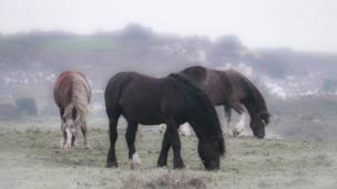 Horses at Penally