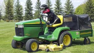 Buzz the dog on a lawn mower