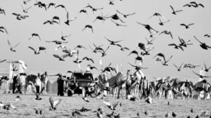 Vidhyaa from Dubai took this picture of birds in flight with camels in the background in Abu Dhabi, United Arab Emirates