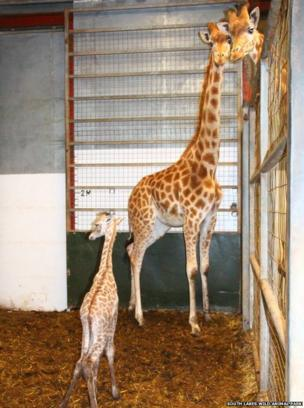 Baby giraffe and two adult giraffes