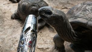 The Aldabra Tortoises on Mahe Island, Seychelles come face-to-face with Queen's baton.