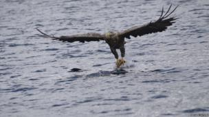 White-tailed eagle on the Isle of Skye