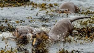 Three otters fishing on Yell, Shetland