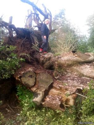 Large tree overturned in Cliveden. Photo: Paul Hughes