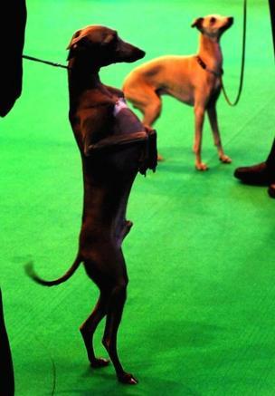 An Italian Greyhound