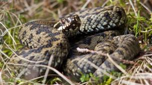 adder basking