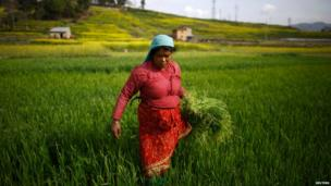 A woman works in a field at Khokana in Lalitpur, Nepal
